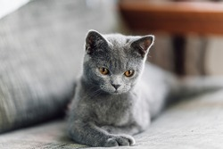 The curious Scottish fold cat ; The grey lovely cat lay down on the couch