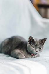 The curious Scottish fold cat ; The grey lovely cat sleeping on the sofa