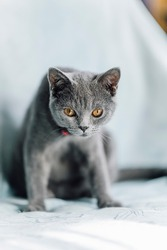 The curious Scottish fold cat ; The grey lovely cat surprised and noticed the camera