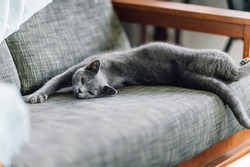 The curious Scottish fold cat ; The grey lovely cat, The lazy Scottish fold stretching itself on the sofa while waking up