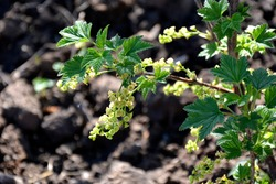 The currant blooms in spring. Flowering of pear-currant in early spring. Currant bush with flowers close-up. Nature awakening after a long winter. Berry bushes are blooming.