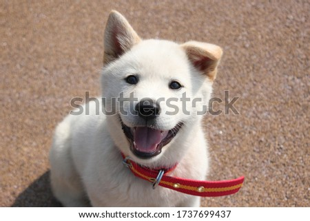 The cute baby Jindo dog face is cute. It's a smiling puppy's face. have one's ears pricked up