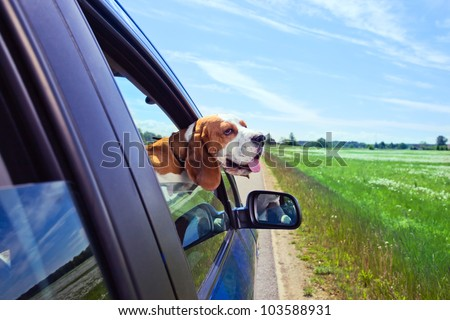 The cute beagle  travels in the blue car.