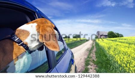 The cute beagle  travels in the blue car.