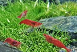 The cute cherry shrimp (Neocaridina davidi) in aquatic plants tank. They are dwarf shrimp appreciated by many aquarists for their bright colors and easy care. iT is a freshwater shrimp from Taiw