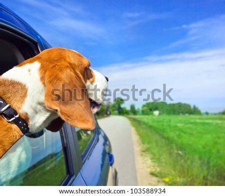 The cute dog  travels in the blue car.