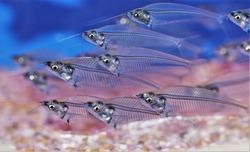 The cute glass catfish (Phantom,Ghost Catfish) in freshwater aquarium. Kryptopterus Bicirrhis  have opaque, transparent or translucent bodies, Native to rivers in Thailand.