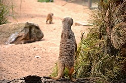 The cute little animal we all know as Timon from the best Disney movie we all love known as