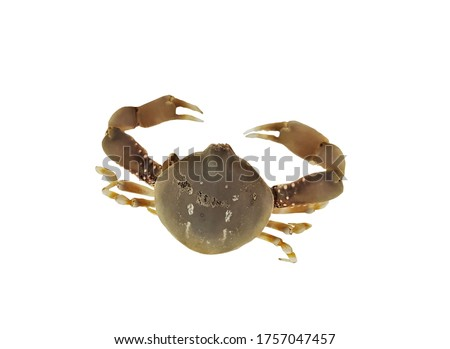 The cute marine pebble crab on isolated white background. Coleusia urania is a species of marine crab in Family Leucosiidae.  Zdjęcia stock ©