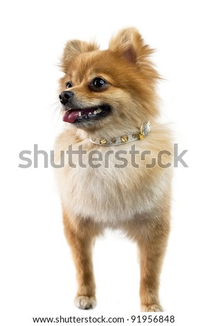 The cute Pomeranian dog over white #91956848