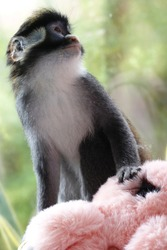 The cute redtail monkey with the pink doll