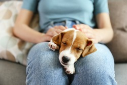 The cuttest two months old Jack Russel terrier puppy named Maisie sleeping on woman's lap. Small adorable doggy with funny fur stains lying with owner. Close up, copy space, isolated background.