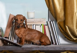 The dachshund sits by a row of books by the window with glasses and looks attentively at the camera with his head tilted. Pensive red dog at the window among the books, studio shooting.