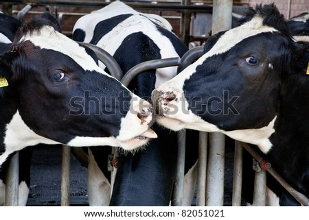 The dairy cows life in a farm. animal cow farm.