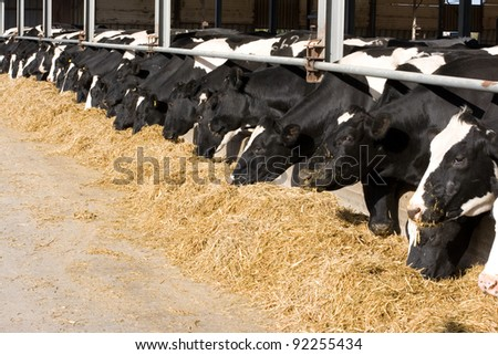 The dairy cows life in a farm. Dairy cows are reared for milk production. On average, a cow in a dairy herd will produce 28-30 bottles of milk per day.