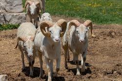 The Dall sheep (Ovis dalli), thinhorn sheep or Dall's sheep, is a wild sheep native to northwestern North America.