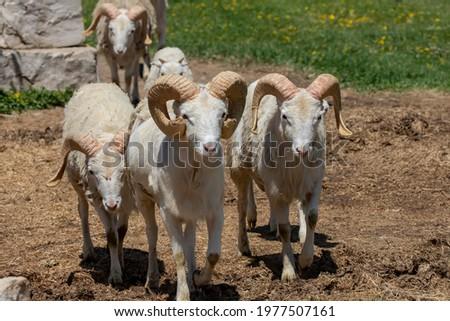 The Dall sheep (Ovis dalli), thinhorn sheep or Dall's sheep, is a wild sheep native to northwestern North America. Photo stock ©