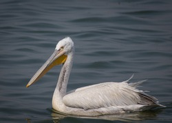 The Dalmatian pelican is the largest member of the pelican family, and perhaps the world's largest freshwater bird, although rivaled in weight and length by the largest swans.