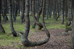 The Dancing Forest is a coniferous forest area located at Curonian Spit, which is distinguished by inclined and curved trunks of trees growing there.  Tourist attraction, part of the Curonian Spit