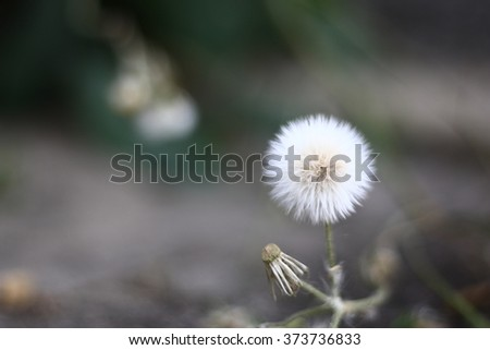 THE Dandelion inside and The sidewalk on evening. In-Thailand.