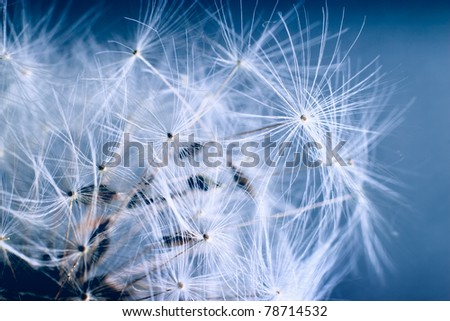 The Dandelion. Macro photo of light seeds over dark blue background.