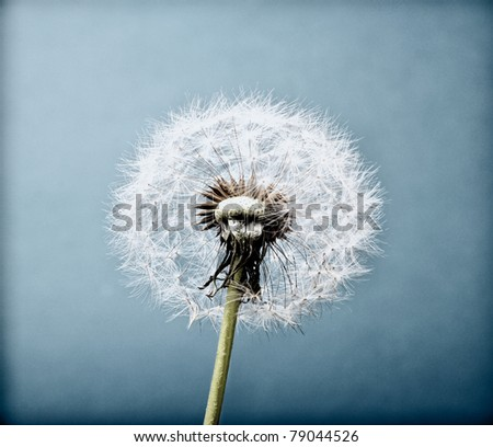 The Dandelion. Macro photo of seeds over light background. The vintage old look.