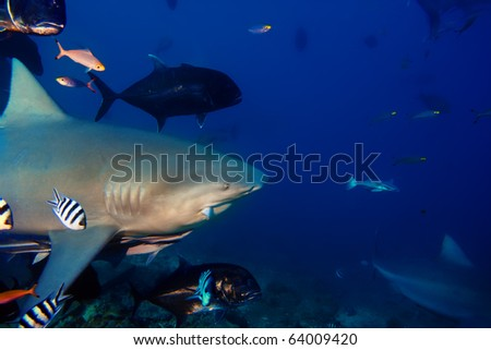 The dangerous big Bull shark from Pacific ocean with piece of fish in mouth shouted at thirty meters depth