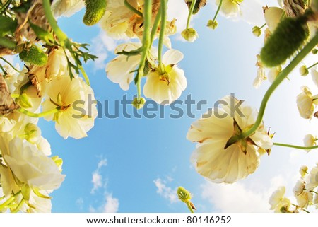 "The dark blue spring sky and clouds above a field white flowers, photographed by a lens "" the Fish eye """