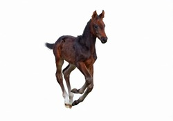 The dark brown  foal galloping on a white background
