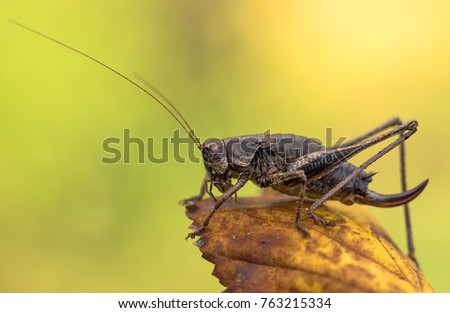 The dark bush-cricket (Pholidoptera griseoaptera)