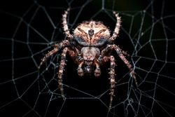 The dark colored Brown Sailor Spider (Neoscona nautica) on its web. This spider species is in the taxonomic classification of the orb-weavers (Araneidae). Thailand.
