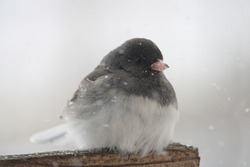 The dark eyed junco bird sitting on the bird feeder