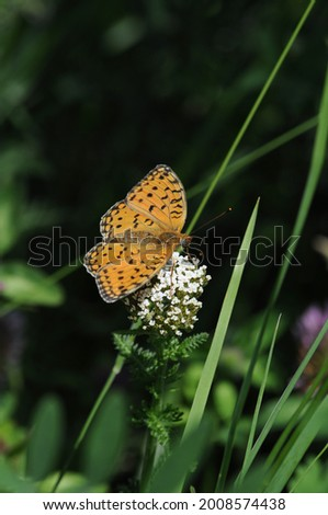 The dark green fritillary is a species of butterfly in the family Nymphalidae. The insect has a wide range in the Palearctic realm - Europe, Morocco, Iran, Siberia, Central Asia, China, Korea, Japan Stock photo ©