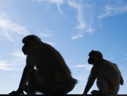 The dark silhouette of monkeys in Gibraltar. A blue sky with light clouds in the background. Barbary macaques in Gibraltar. Known locally as Barbary ape or rock ape, despite being a monkey