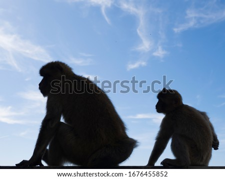 Photo of  The dark silhouette of monkeys in Gibraltar. A blue sky with light clouds in the background. Barbary macaques in Gibraltar. Known locally as Barbary ape or rock ape, despite being a monkey
