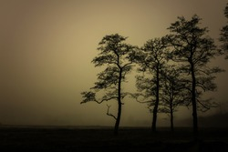 The dark trees at the forest edge and clearing. Sepia dark background