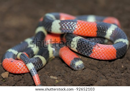 The DEADLY  South American Coral Snake (Micrurus lemniscatus) in the Peruvian Amazon