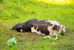 The death of cattle. A dead rotting cow lies in a meadow. Pestilence in agriculture. The epidemic in livestock. Cattle death. Flies lay larvae in the rotting corpse of a calf.