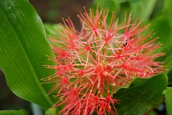 The December flower, which has the scientific name Scadoxus multiflorus, is a tuber plant originating from Africa (Senegal) which then spread to Somalia and to southern Africa.