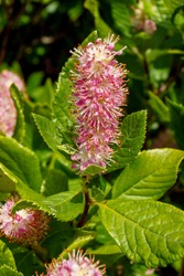 The deciduous shrub 'Ruby Spice' summersweet (Clethra alnifolia 'Ruby Spice'), also known as sweet pepperbush, in flower