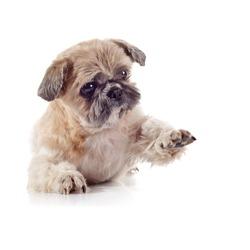 The decorative amusing small beige doggie of breed of a shih-tzu