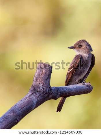 The deep brown of this western wood pewee is nicely highlighted against the lighter background. #1214509030