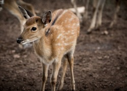 The deer live in the open zoo, Thailand