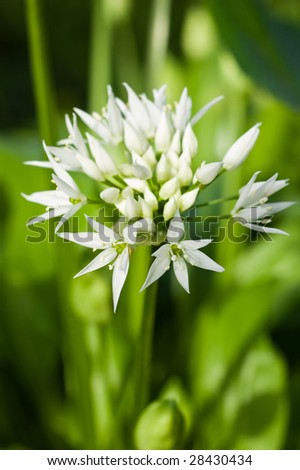 the delicate white flowers of Allium ursinum or more commonly known as wild garlic or Ramson.