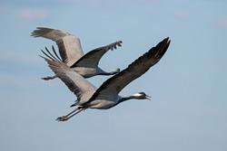 The demoiselle crane (Grus virgo) is a species of crane found in central Eurasia. demoiselle crane (Grus virgo) in a typical breeding ecosystem.