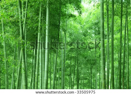 The dense verdure bamboo forest with flourish foliage. - stock photo