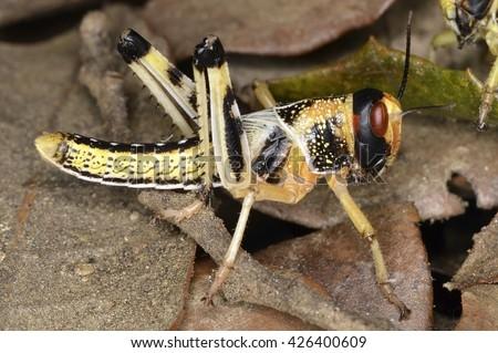 The desert locust nymph (Schistocerca gregaria)