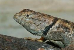 The desert spiny lizard can be found in the Chihuahuan and Sonoran desert of North America.