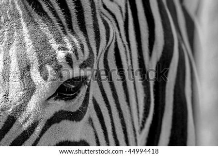 The detail of a Zebra's pattern.