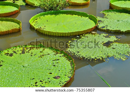 The details of huge lotus leafs over water